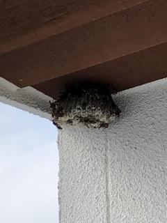 190902_アシナガハチの巣